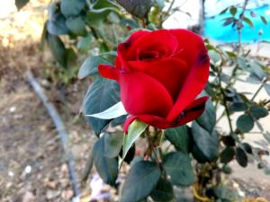 Real Lovely Red Roses Image