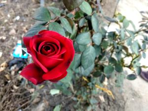 Lovely Red Roses Image
